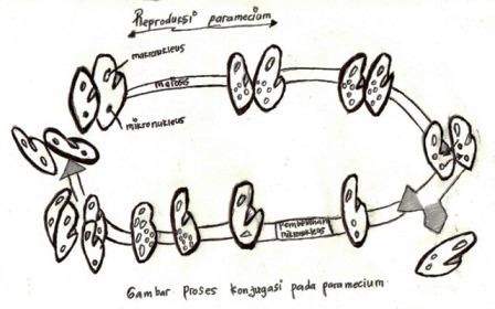 Reproduksi paramecium
